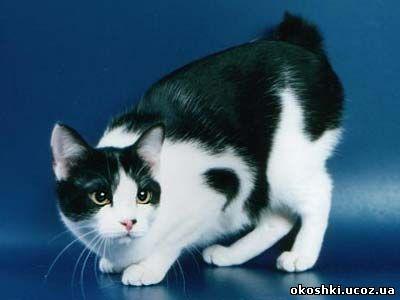 курильский бобтейл, короткохвостые кошки, бесхвостые кошки, курильские...